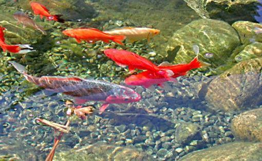 Vissen in de vijver vissoorten voeren en gezondheid for Vijvers foto s